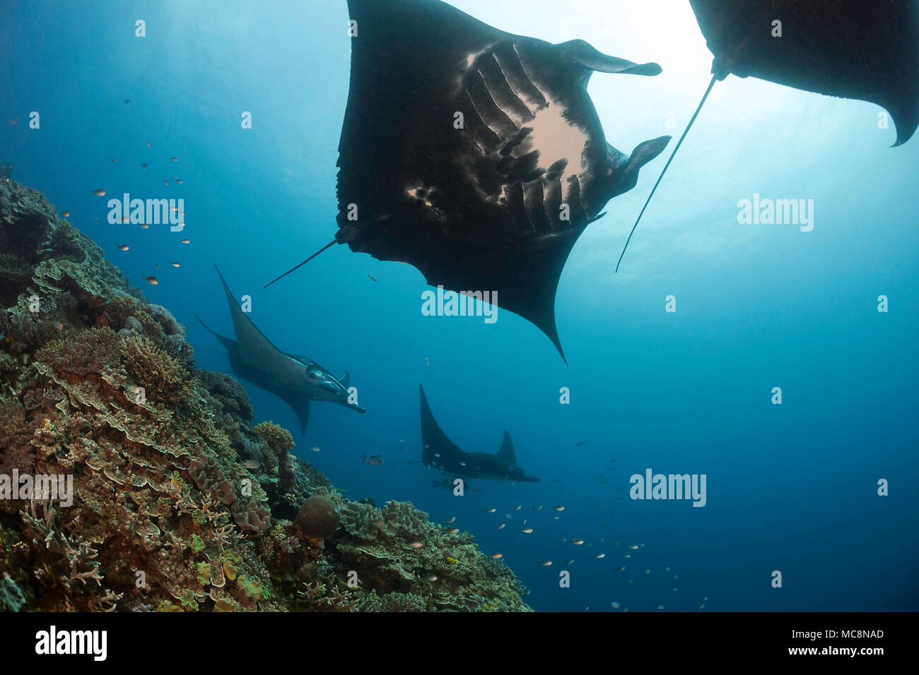 Five manta rays, Manta alfredi, gets close to the reef to be inspected by small cleaner wrasse at Manta Reef off the island of Kandavu, Fiji. - Stock Image