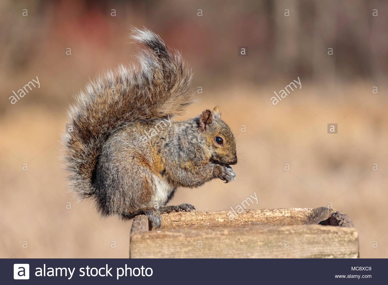 Sciurus carolinensis, eastern gray squirrel or eastern grey squirrel on bird feeder - Stock Image