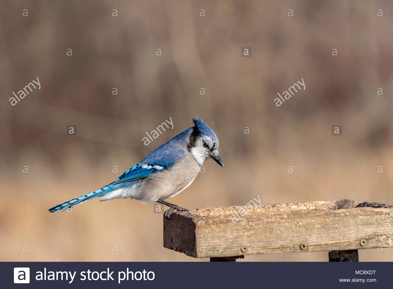 Blue jay Cyanocitta cristata at feeder showing structural coloration - Stock Image