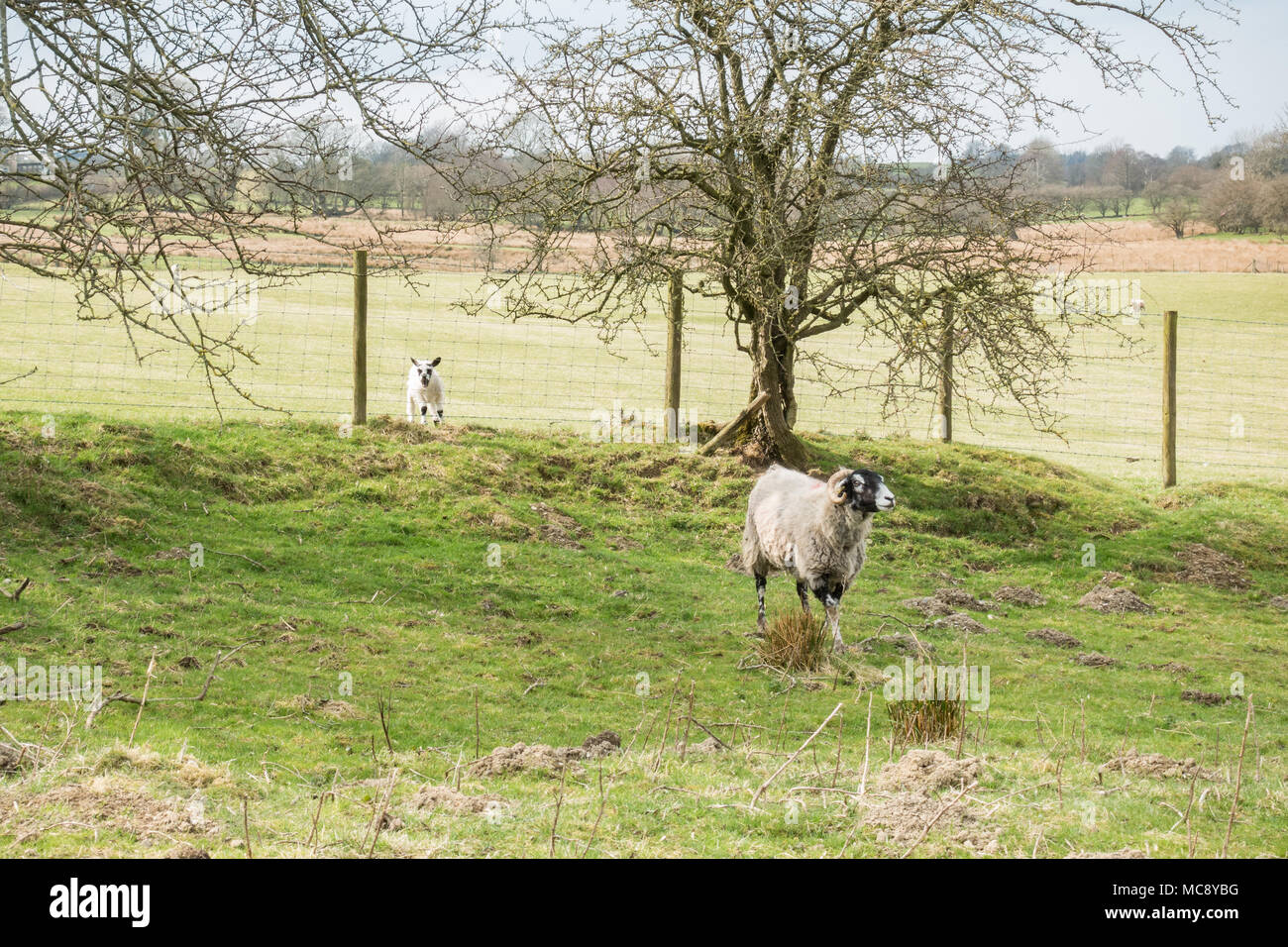 lamb on the wrong side of the fence from its mother - UK - Stock Image