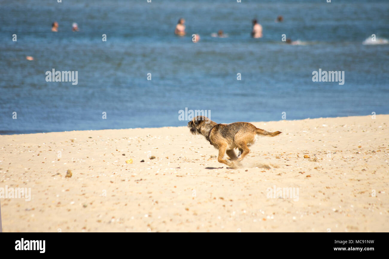 Dog running free on a beach in summer - Stock Image