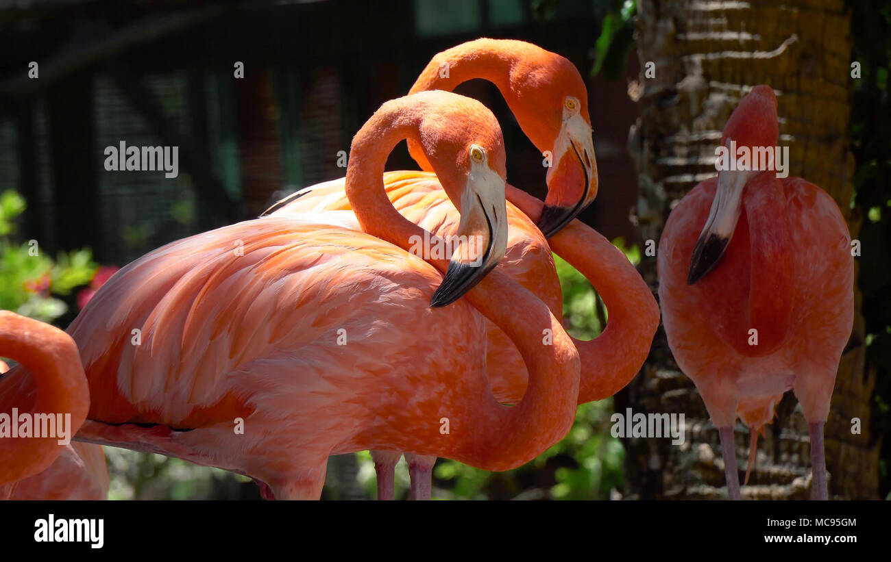 Pink Caribbean flamingo, Phoenicopterus ruber, in the middle of flock flamingos during breeding season. Stock Photo