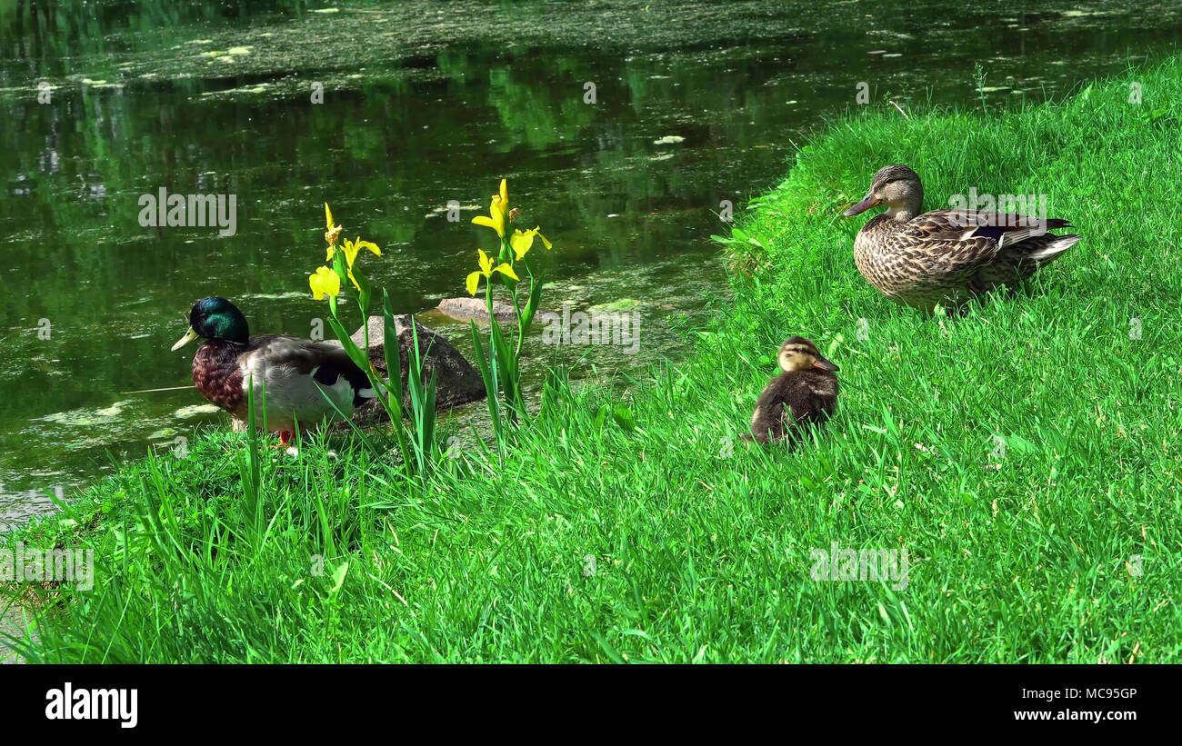 duck stands between the grass on the waterfront Stock Photo