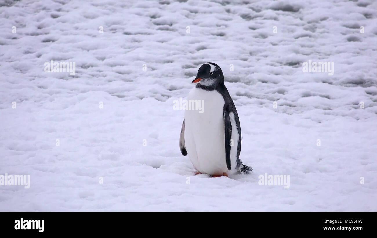 Portrait of an Adelie penguin Pygoscelis adeliae on on the snow Stock Photo