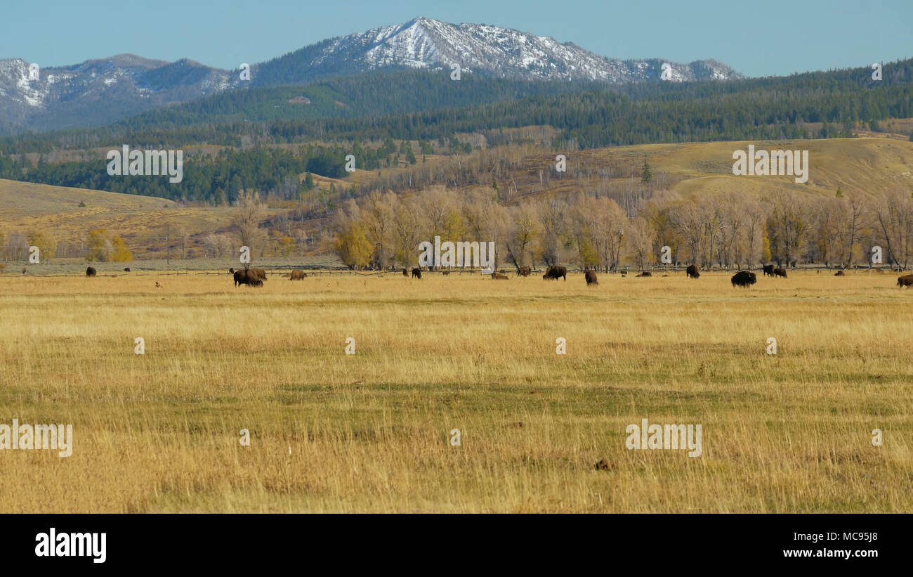 Grand Tetons and Bison, Wyoming USA Stock Photo