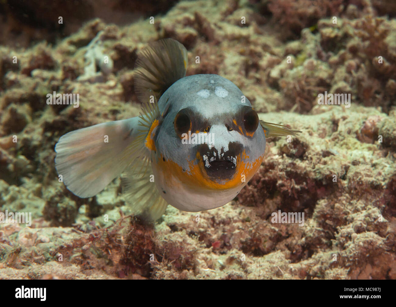 Blackspotted puffer( Arothron nigropunctatus ) swimming over coral reef of Bali, Indonesia, face to face. Stock Photo