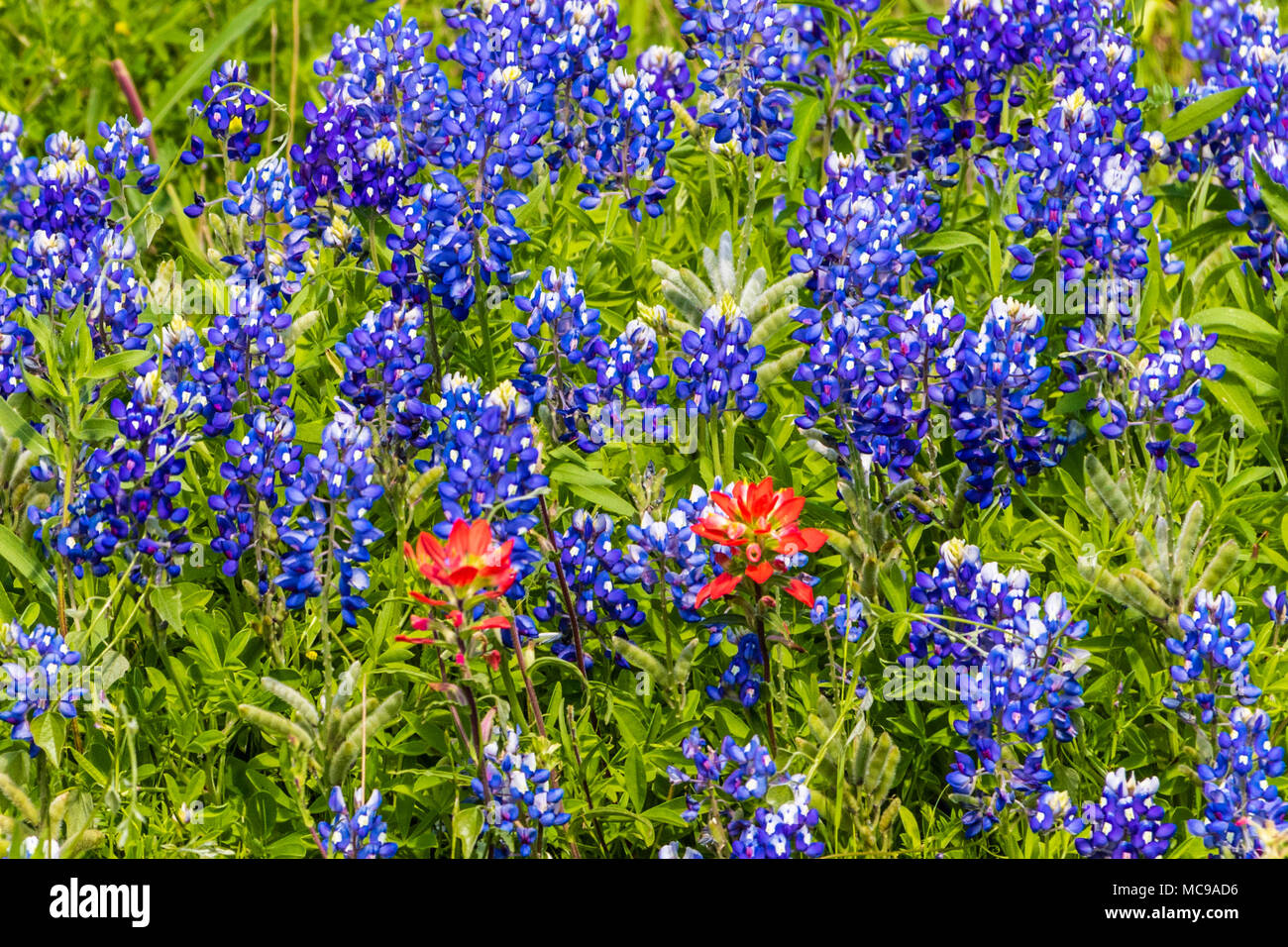 Texas Bluebonnets and Indian Paintbrush along Texas State Highway 105 between Navasota and Brenham. - Stock Image