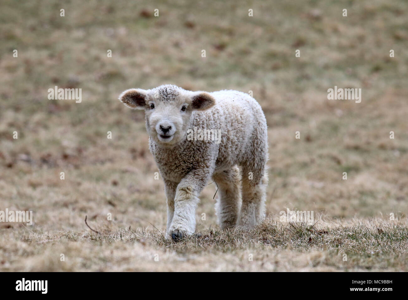 A white woolly lamb walking in a field in Springtime - Stock Image