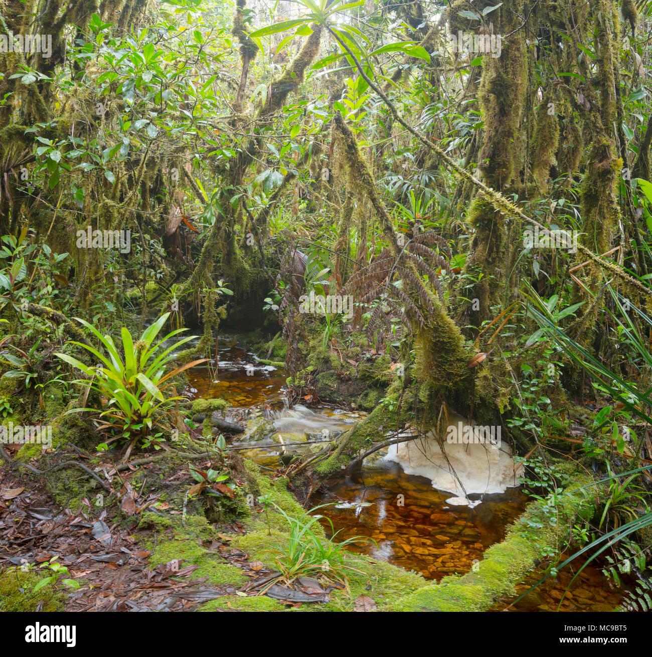 Blackwater stream in mossy montane rainforest at 1500m elevation. With natural river foam. Above Rio Nangaritza, Cordillera del Condor, Ecuador - Stock Image