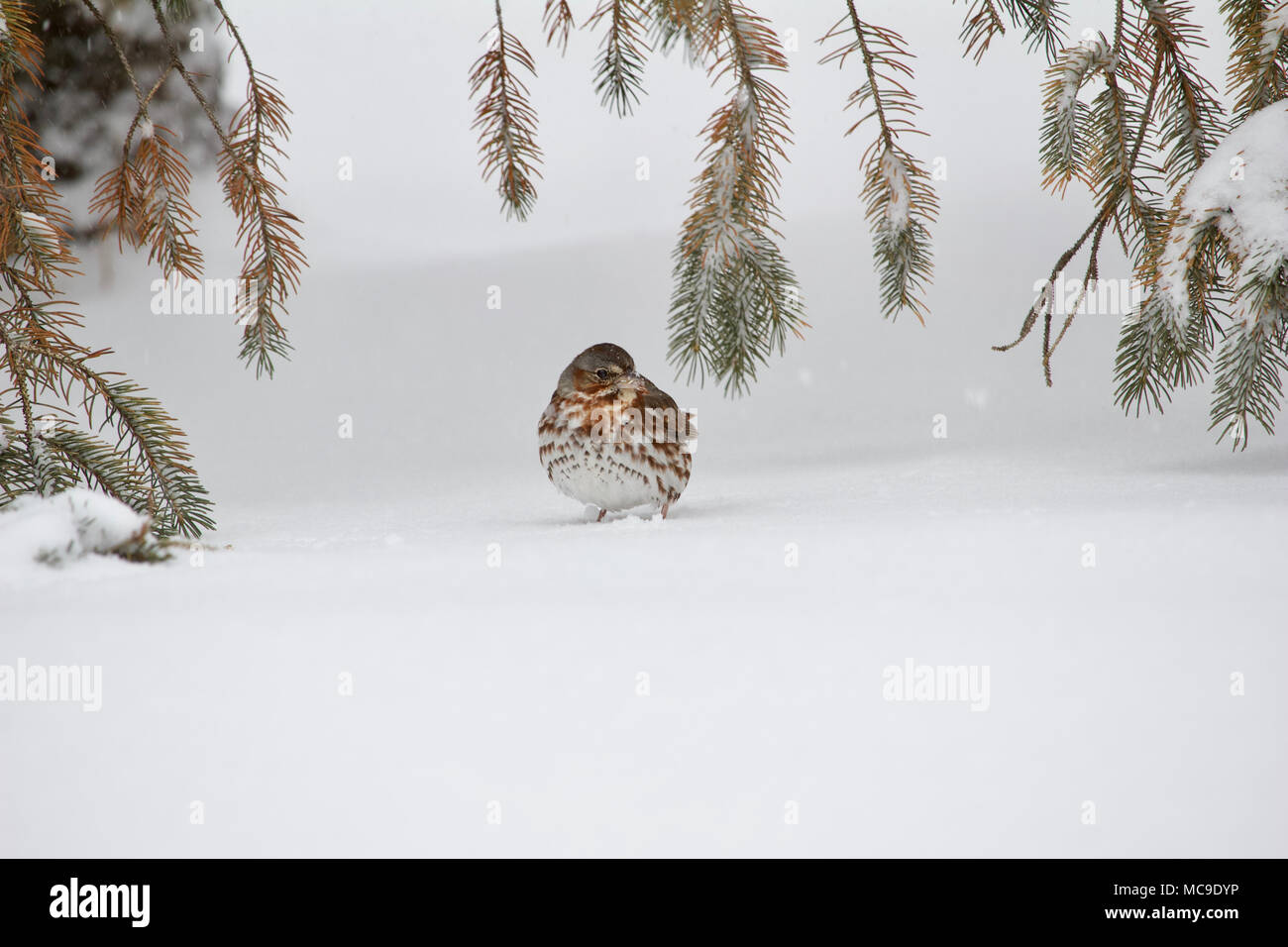 Solitary fox sparrow bird on white snow covered ground under spruce tree branches in a blizzard Stock Photo