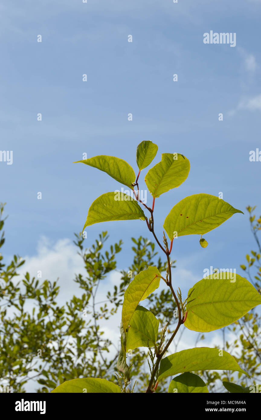 Japanese knotweed or Fallopia japonica - Stock Image