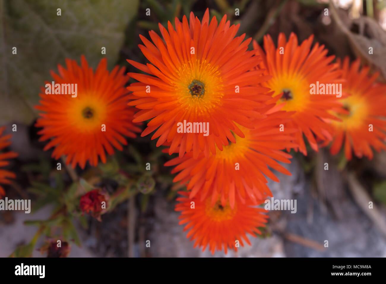 lampranthus aurantiacus, Orange Flowered Ice Plant  also called orange pig face, Succulent, April 2018, Almeria Andalucia Spain - Stock Image