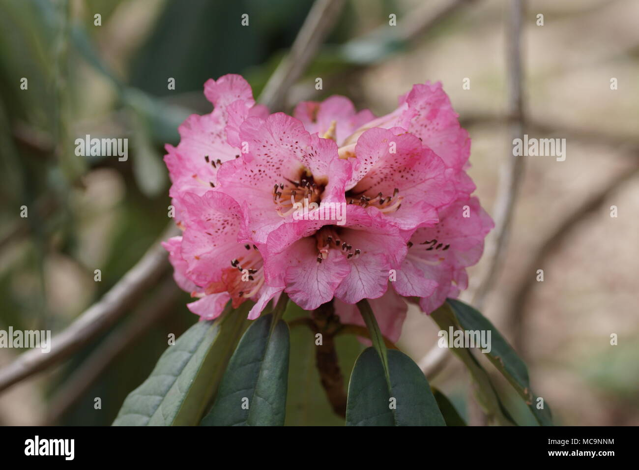 Flowers of  Rhododendron arboreum - Stock Image