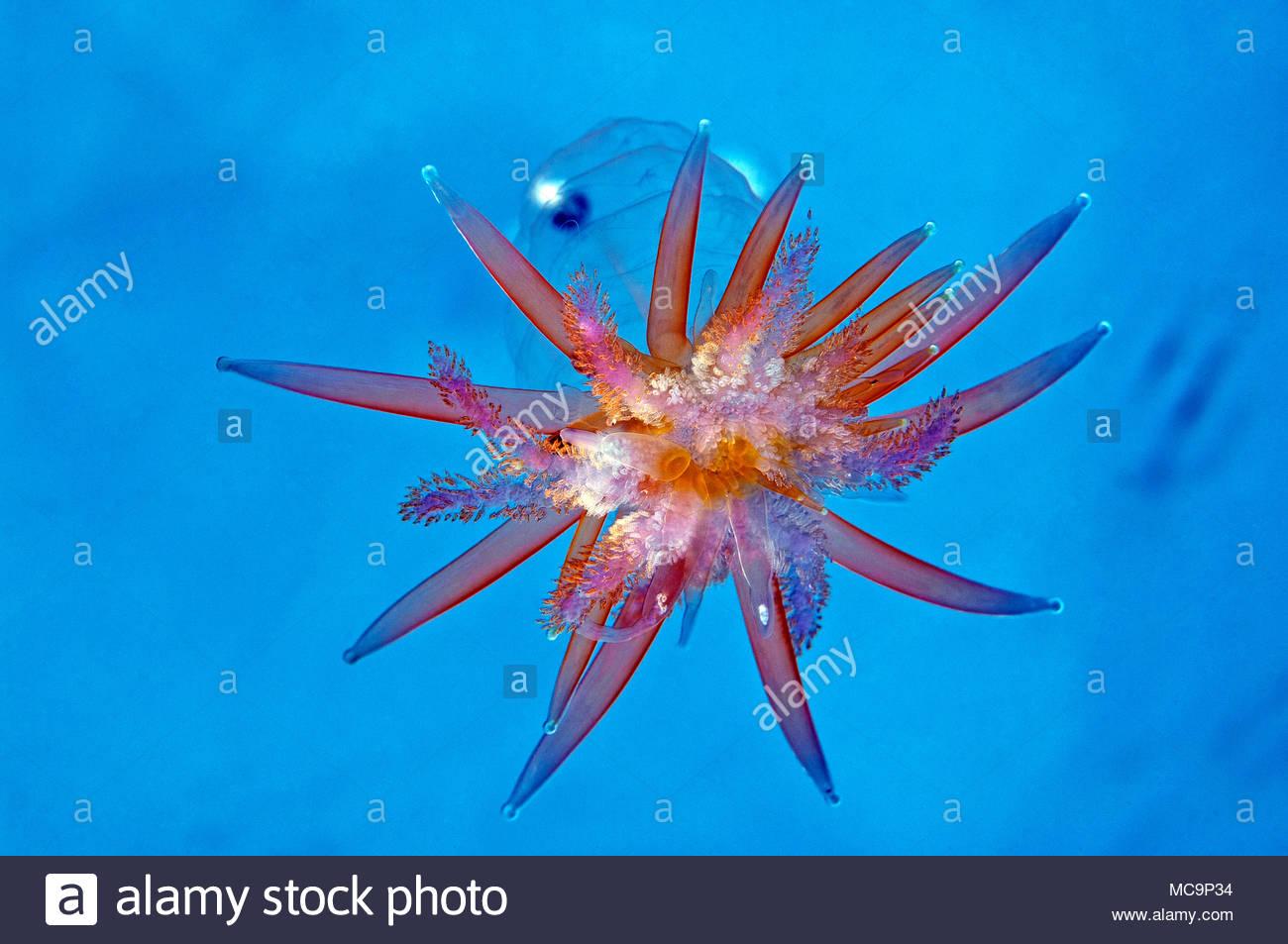 Staatsqualle (Physophora hydrostatica), Hordaland, Norwegen | Hula skirt siphonophore (Physophora hydrostatica), Hordaland, Norway - Stock Image