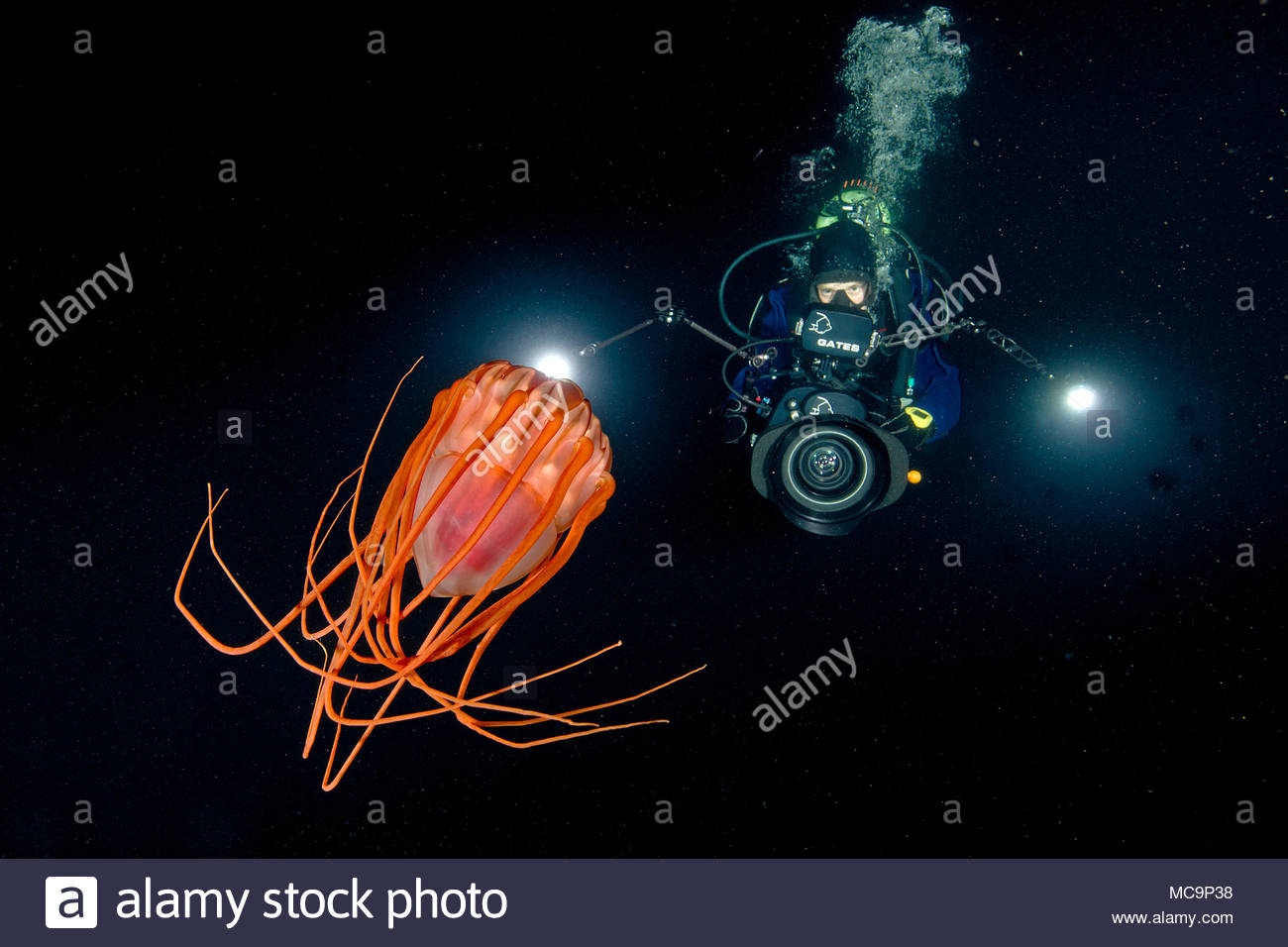 Scuba diver and Helmet jelly (Periphylla periphylla), deep water jelly fish, Hordaland, Norway - Stock Image