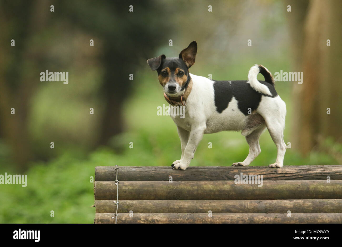 A cute Jack Russell Terrier Dog (Canis lupus familiaris) standing on top of a wooden training structure. - Stock Image