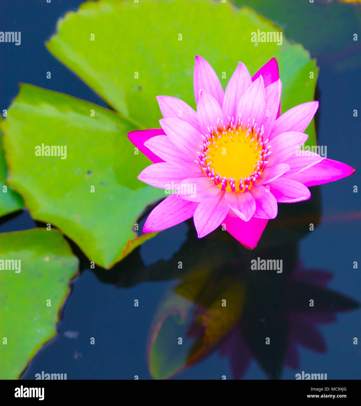 Beautiful Waterlily Or Lotus Flower Is Complemented By The Rich