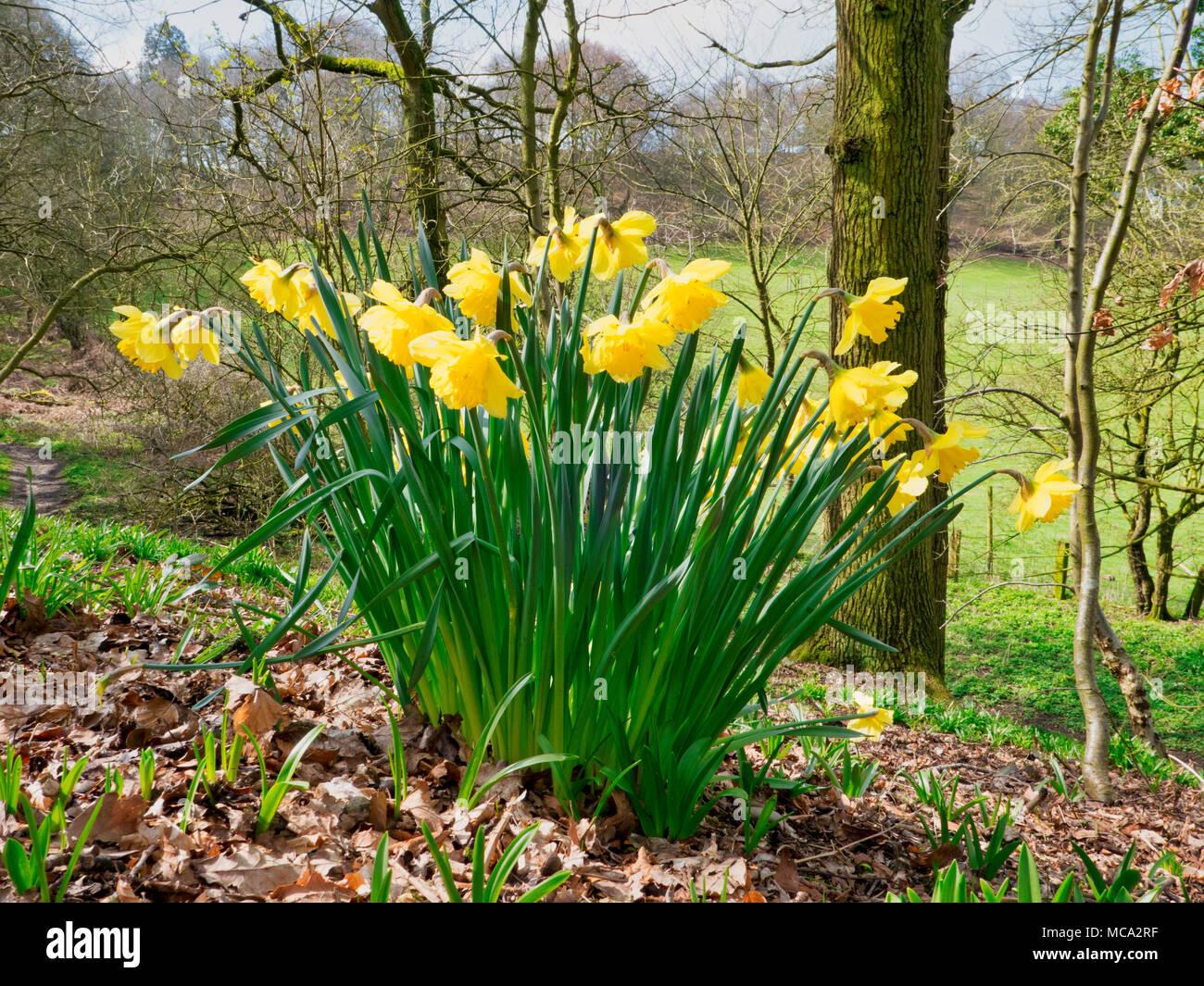 Derbyshire, UK, 14 April 2018. Blooming daffodils as warm spring temperatures finally arrive in Ashbourne, Derbyshire, Peak District National Park Credit: Doug Blane/Alamy Live News - Stock Image
