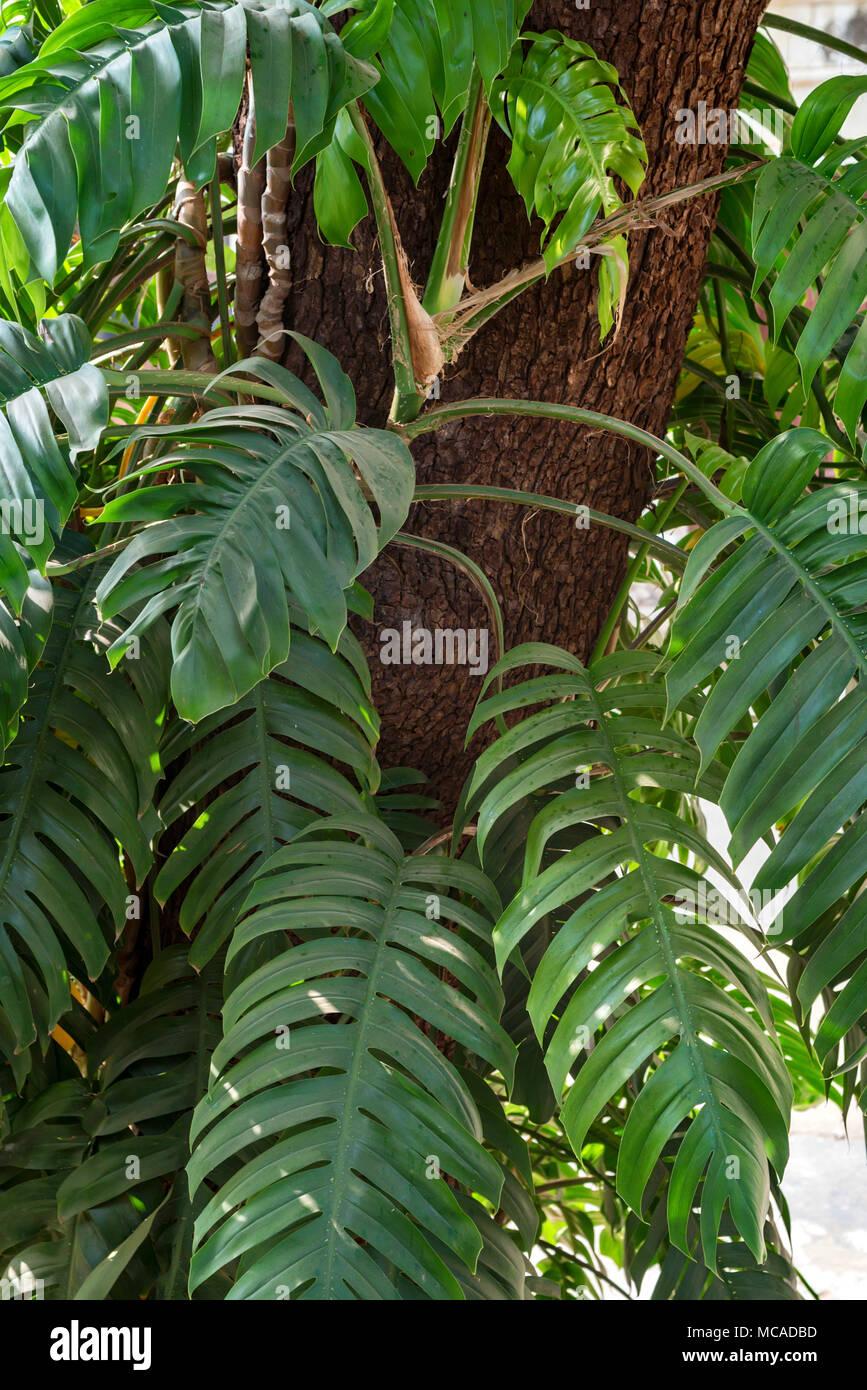 Big green leaf of Monstera plant on tree - Stock Image