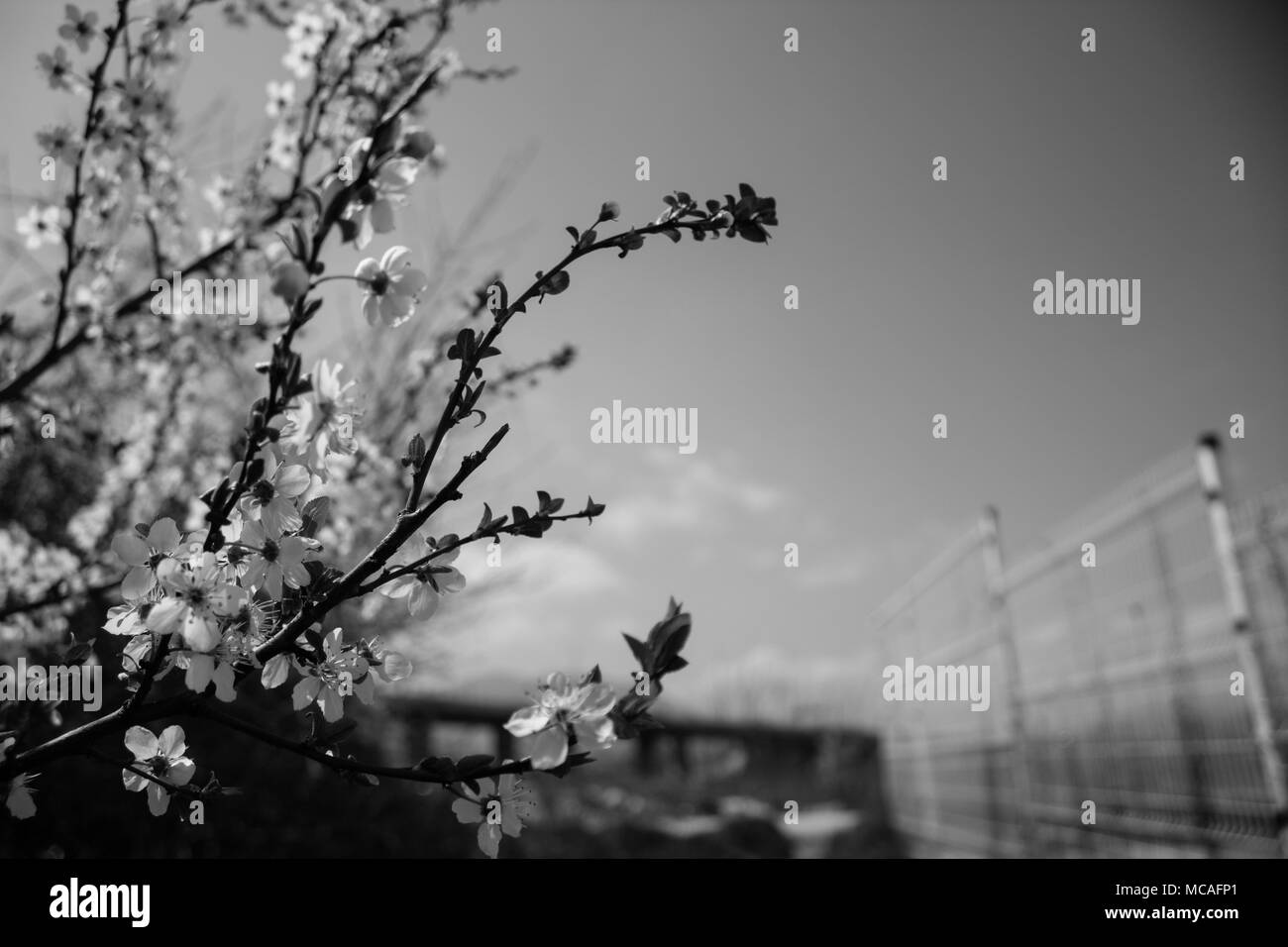 Close up of tree blossom with blurred background. - Stock Image
