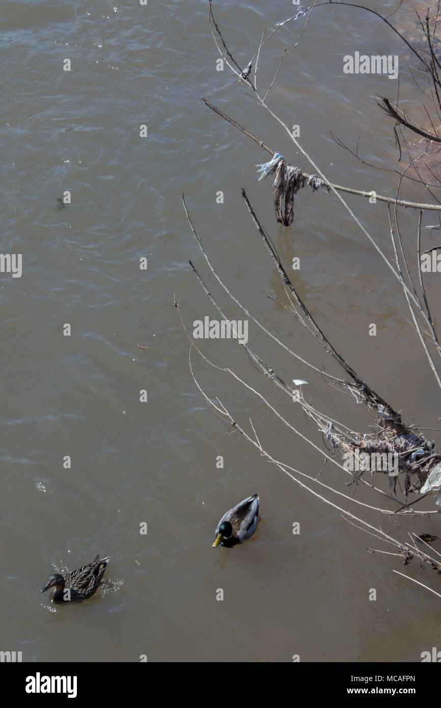 Ducks swimming in a dirty river. - Stock Image