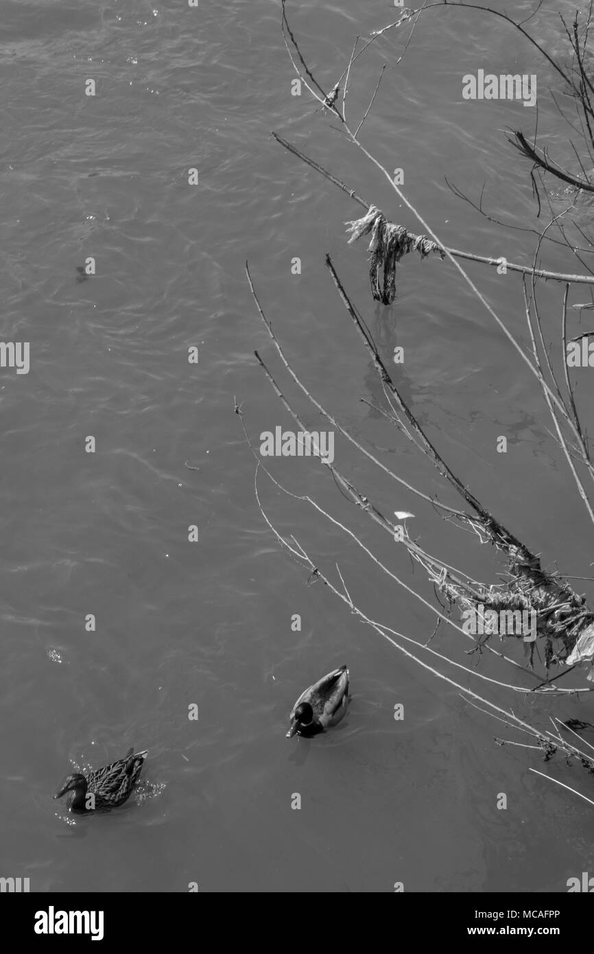 Ducks swimming in a dirty river black and white. - Stock Image