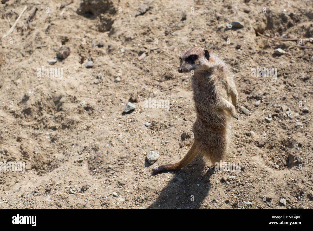Meerkat in the desert - Stock Image