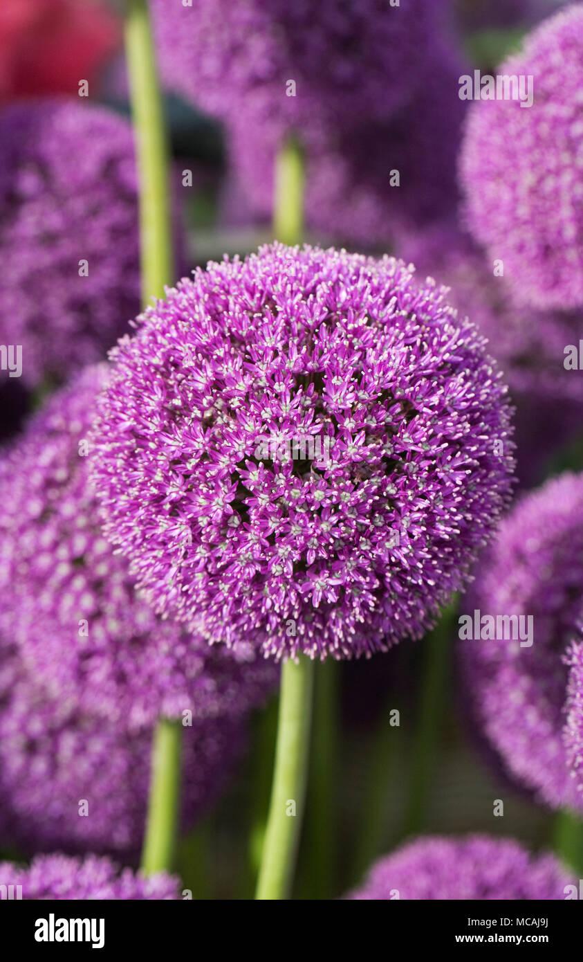Allium 'Ambassador'. - Stock Image