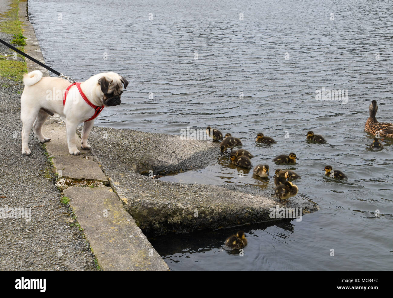 Helston Boating lake, Helston, Cornwall, UK. 15th April 2018. UK Weather. A warm afternoon in Helston, with a brood of 16 ducklings out and about on the boating lake. Seen here Titan the Pug pup having a good look. Credit: Simon Maycock/Alamy Live News - Stock Image