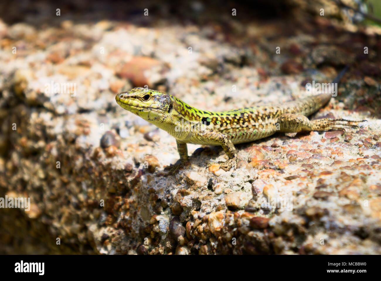 Rural Lizard, Podarcis siculus in Sunlight. - Stock Image