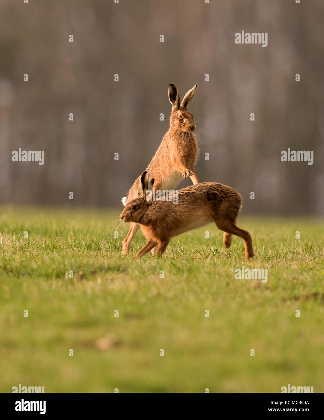 Pair of Brown Hares (Lepus europaeus) boxing in the evening sun in Gloucestershire - Stock Image