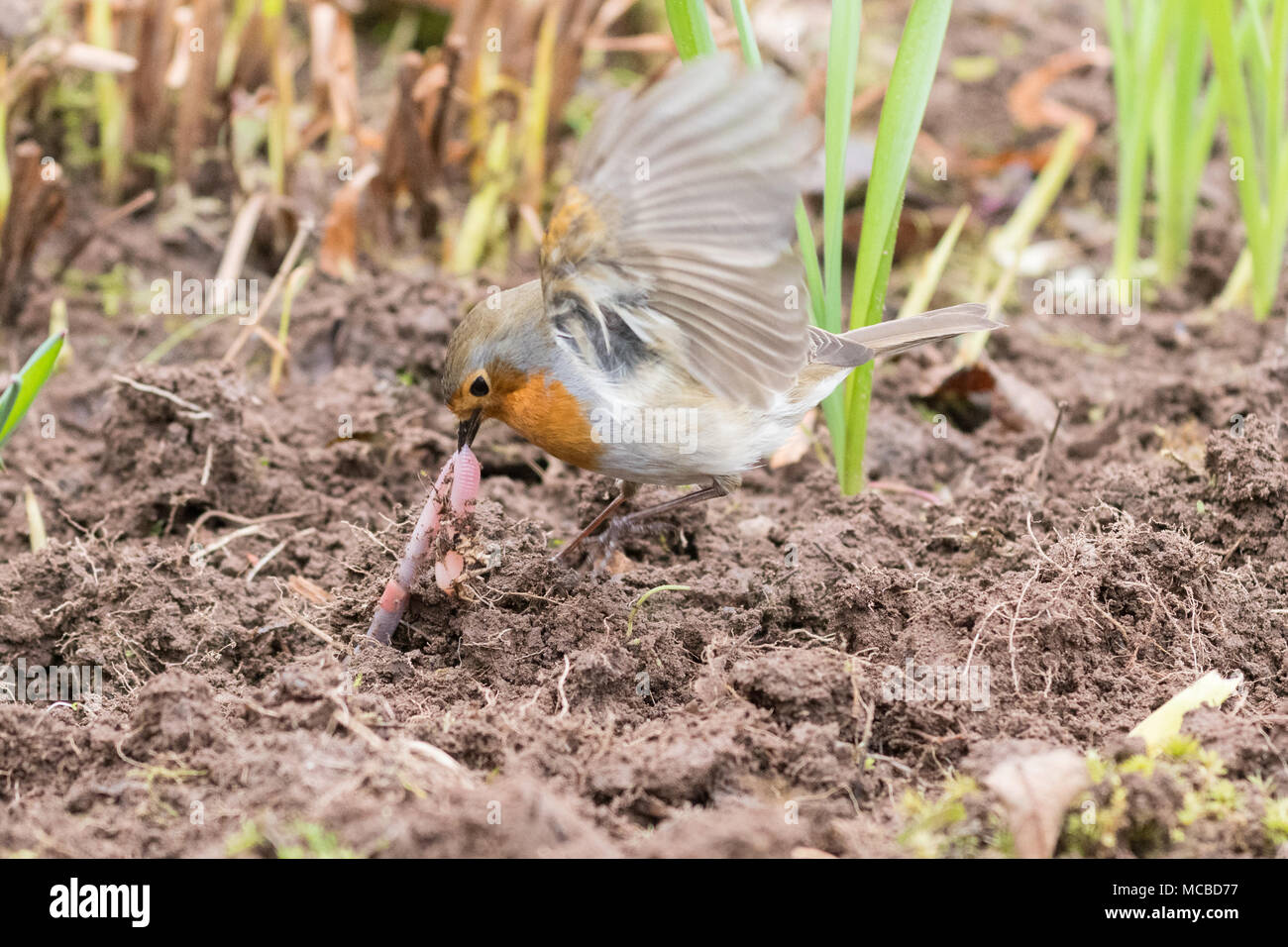 Robin Erithacus Rubecula pulling at a worm that has been uncovered by a gardener - Stock Image