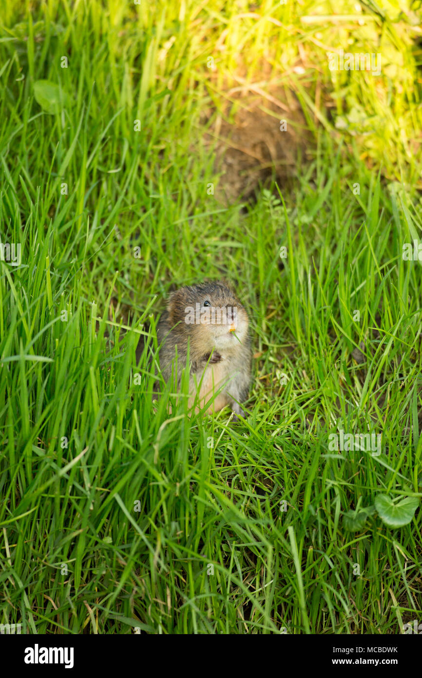 A wild, non-captive european water vole, Arvicola amphibius, in Springtime evening light on April 14 2018. The vole was feeding on grasses and lesser  - Stock Image