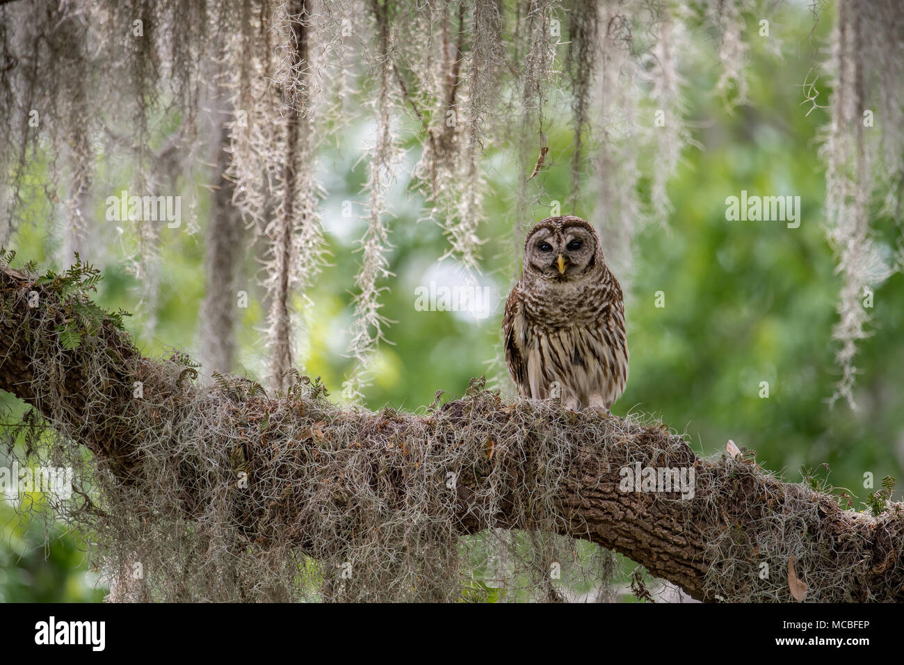 Barred Owl in Florida - Stock Image