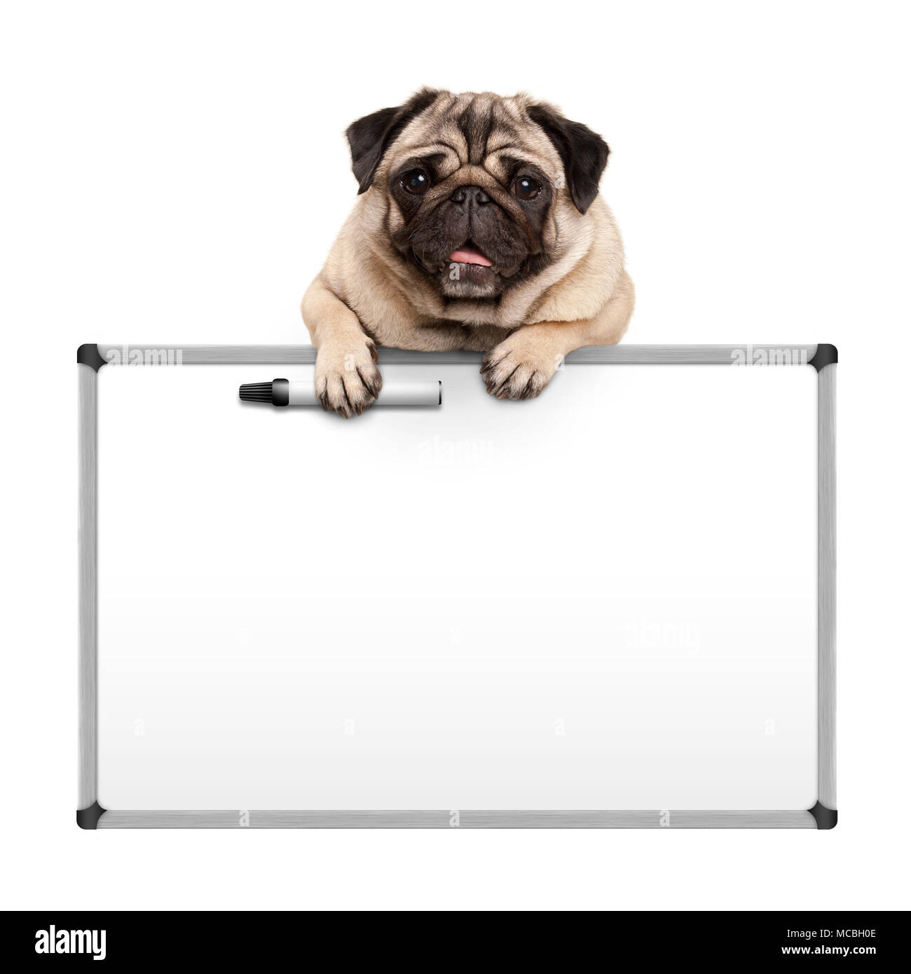 cute pug puppy dog hanging with paws on blank marker white board, promotional sign, isolated on white background Stock Photo
