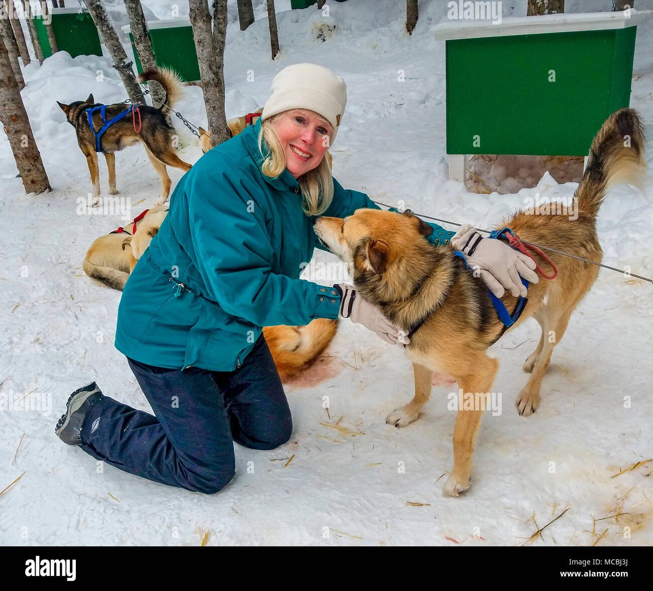 At the end of a tour with Mountain Man Sled Dog Adventures, guests get to pet the adult dogs and puppies. This socializes them. These are five-month-old pups. Most sled dogs are NOT Siberian Huskies but, rather are a crossbreed of many dogs that are lean and fast. The crossbreed is called Alaskan Husky. - Stock Image