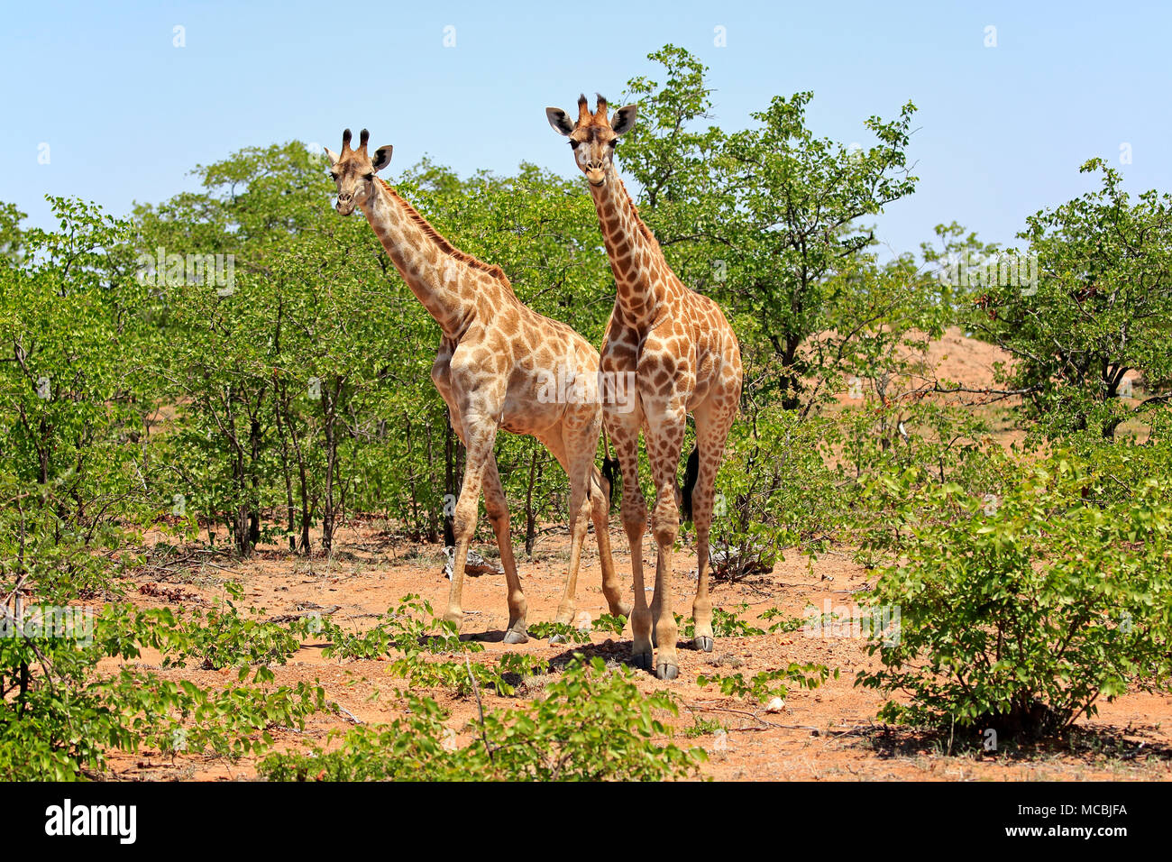 Two Southern giraffes (Giraffa camelopardalis giraffa), adult, in bushland, Kruger National Park, South Africa - Stock Image
