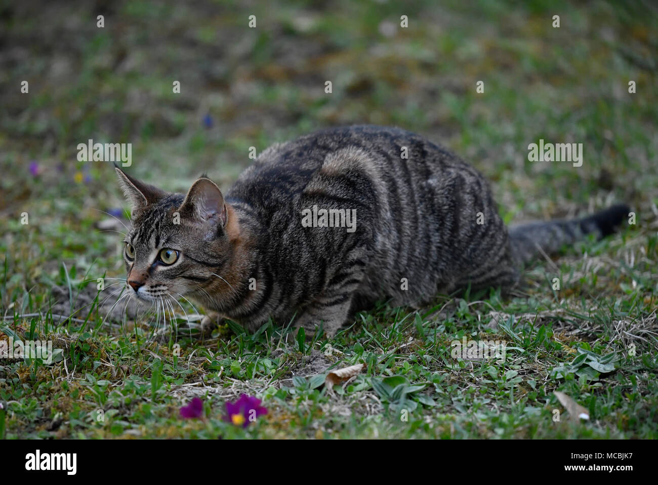 Domestic cat , tabby, on lurking, observing, kitten 6 months, Germany - Stock Image