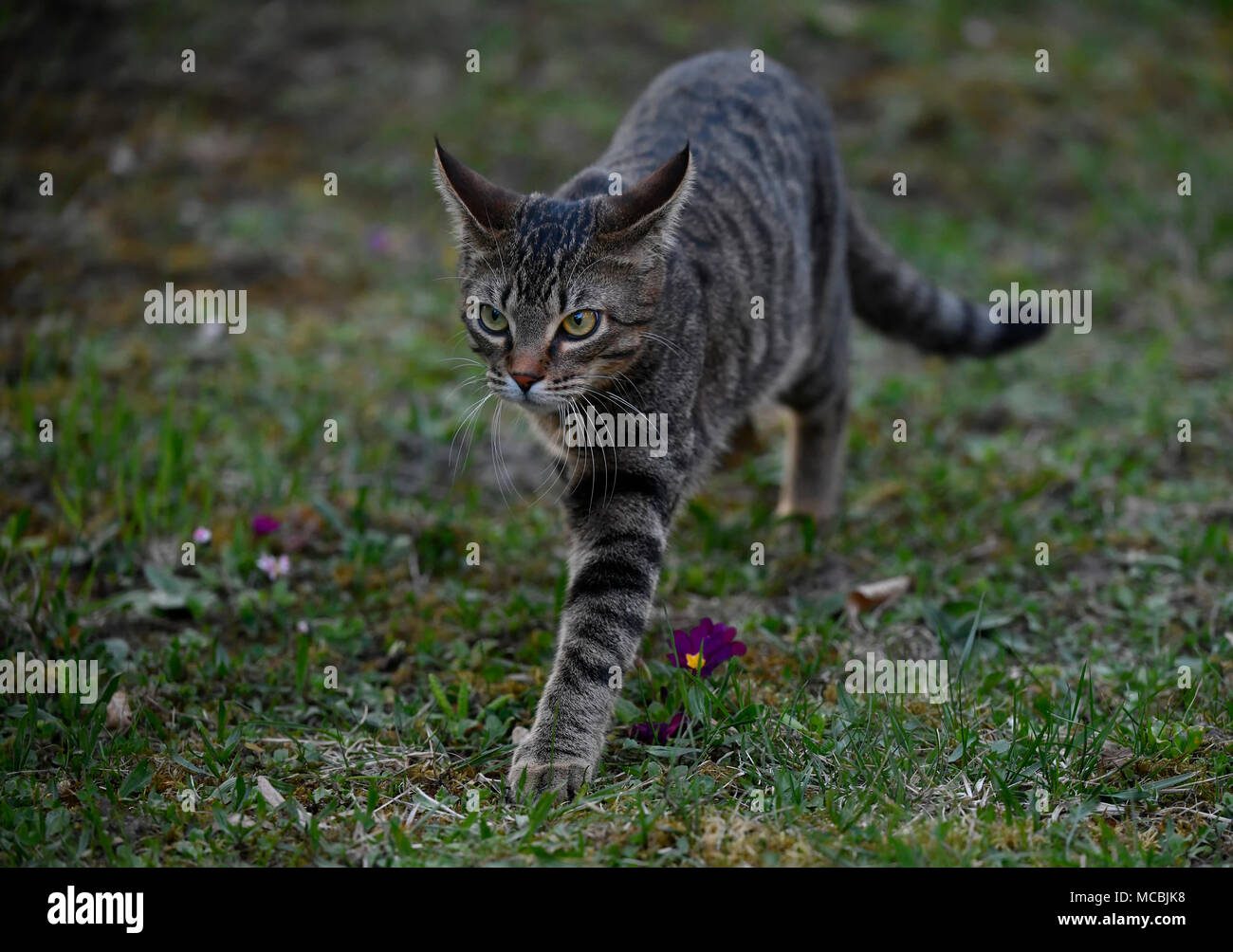 Domestic cat, tabby, kitten 6 months, runs over meadow, Germany - Stock Image