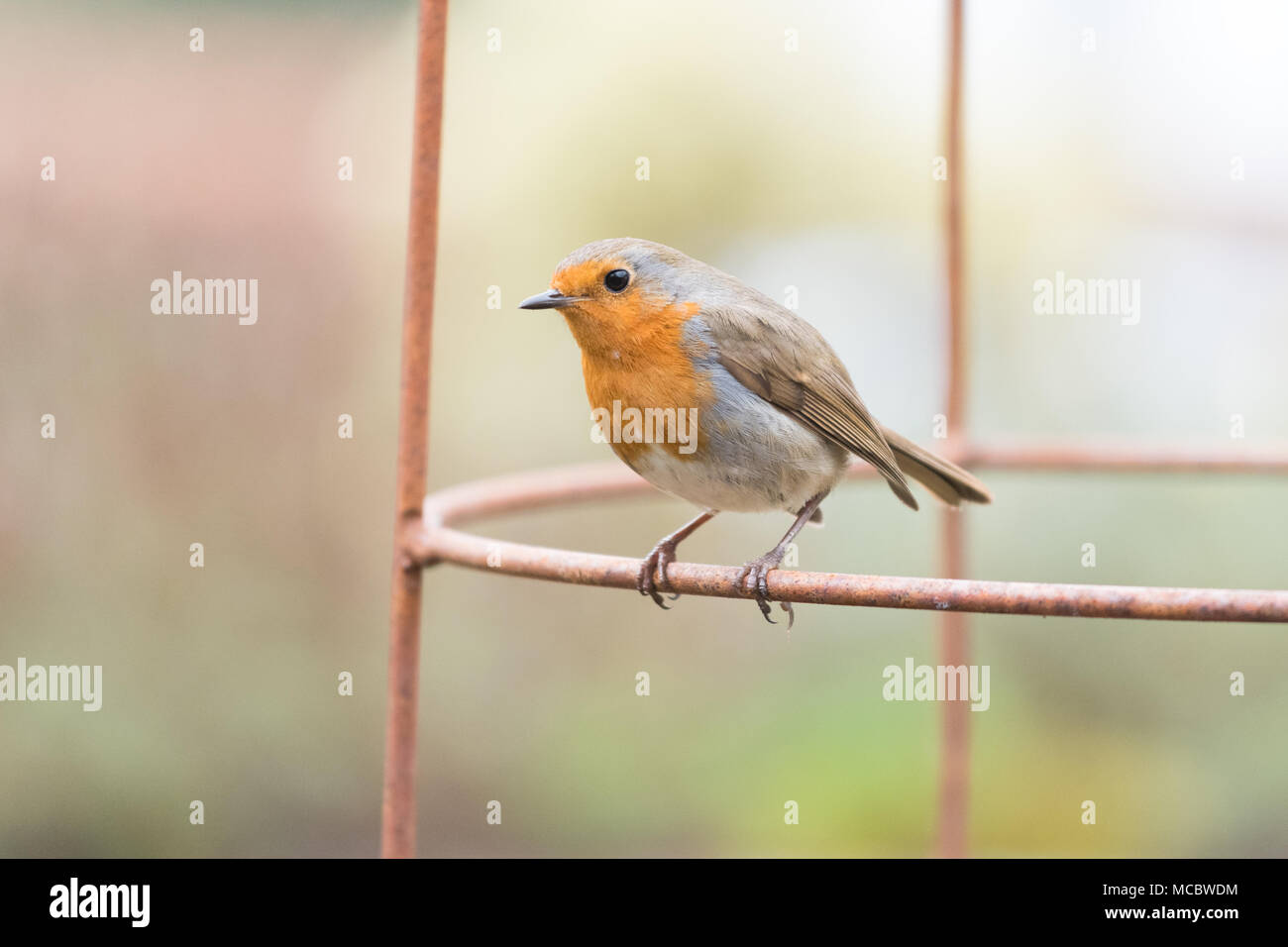 Robin Erithacus rubecula  perched on metal plant support in UK garden Stock Photo