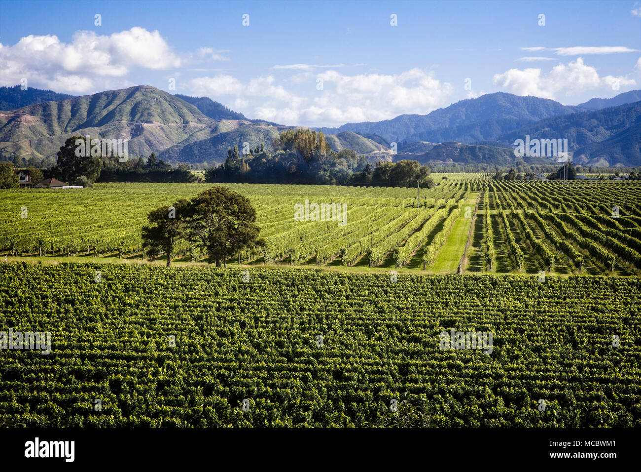 The vineyards of the Marlborough Region, South Island, New Zealand. - Stock Image