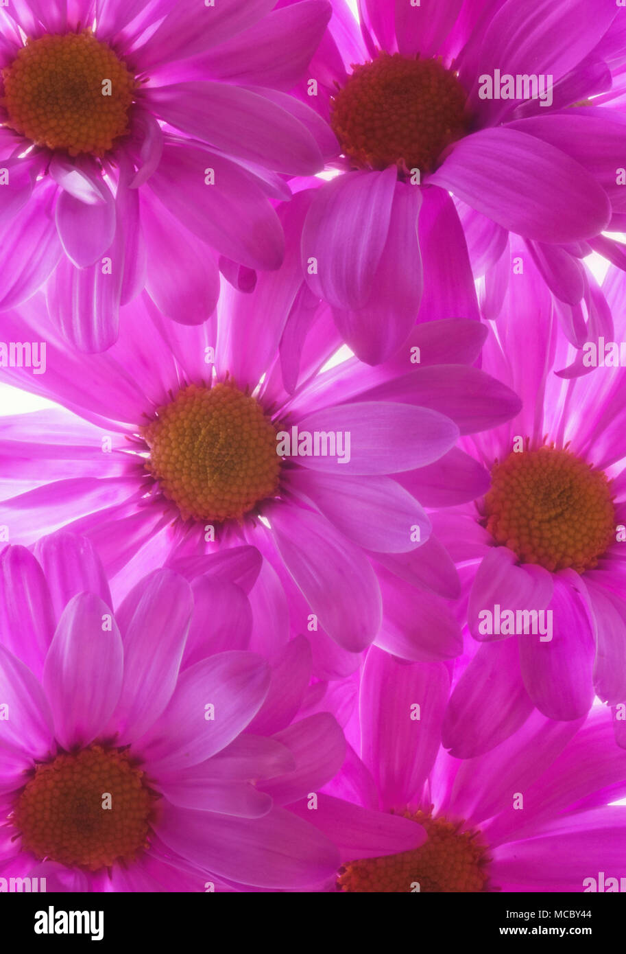 Close up looking down on backlit purple pink Mums - Stock Image