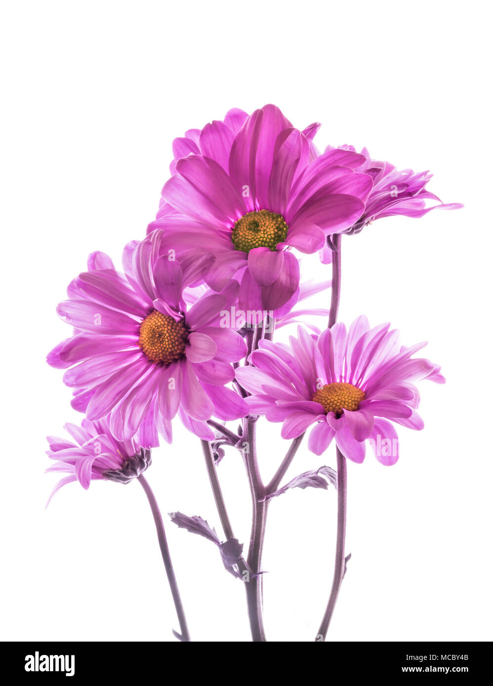 Bunch of Purple pink Mums aganist a white background - Stock Image