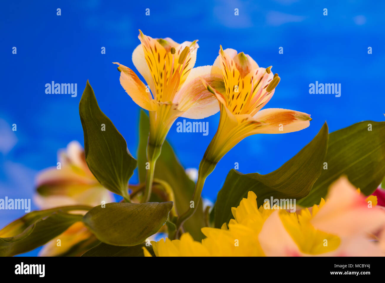 Closeup of yellow Alstroemerias flowers commonly know as Peruvian Lilies or Lily of the Incas against a blue background Stock Photo