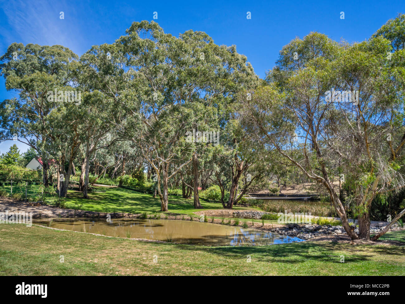Eucalypt Lawn at Orange Botanic Gardens, a grassy wooded area with many remnant Eucalypts including Yellow Box and Apple Box, Orane, Central West New  - Stock Image