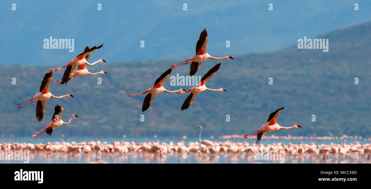 Flock of flamingos wading in the shallow lagoon water - Stock Image