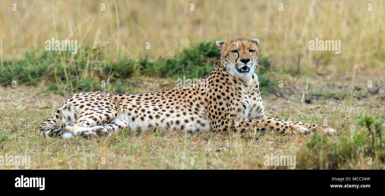 Wild african cheetah, beautiful mammal animal. Africa, Kenya Stock Photo