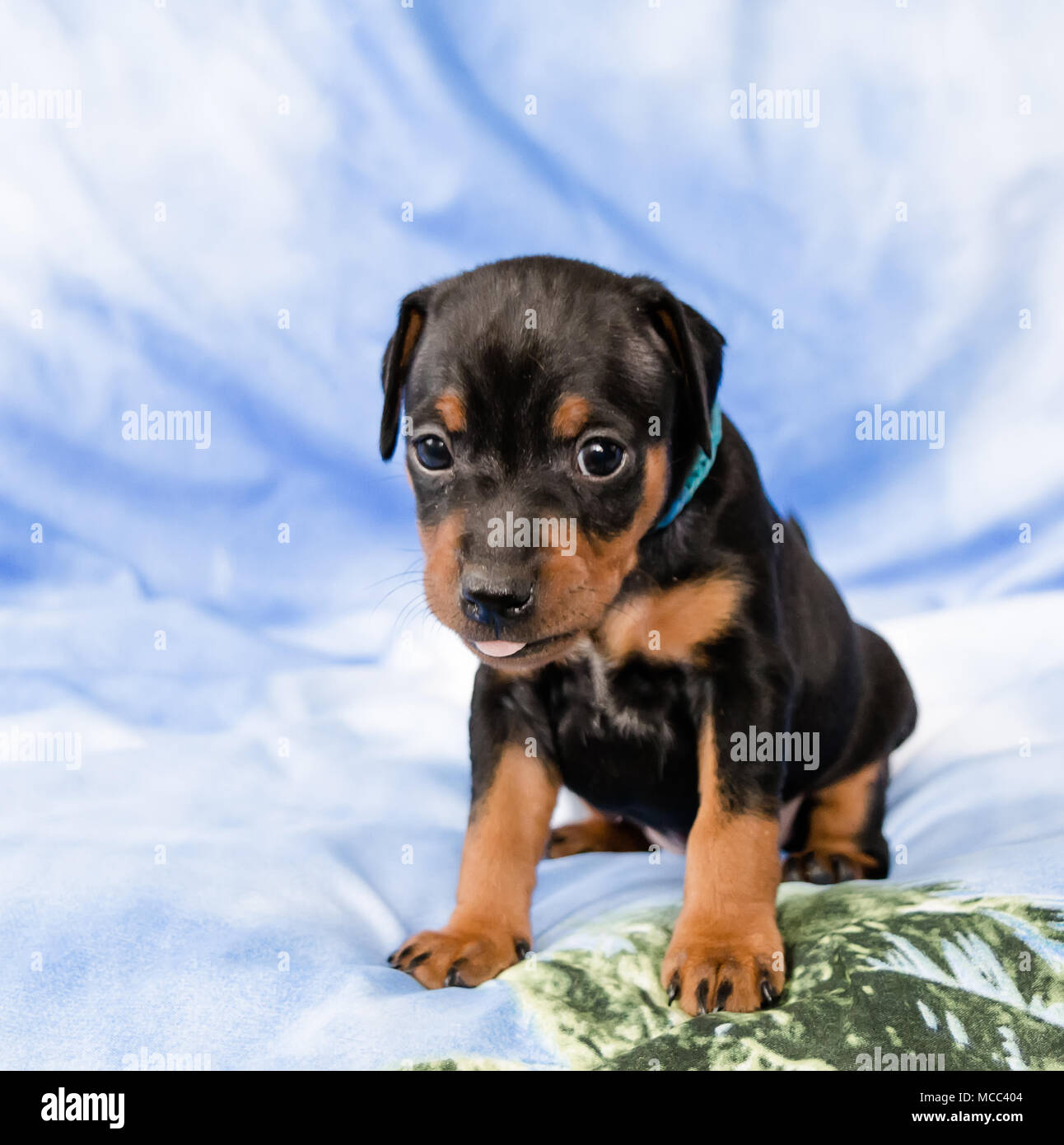 Small black and tan Miniature Pinscher puppy sitting at blue background with his tongue out - Stock Image
