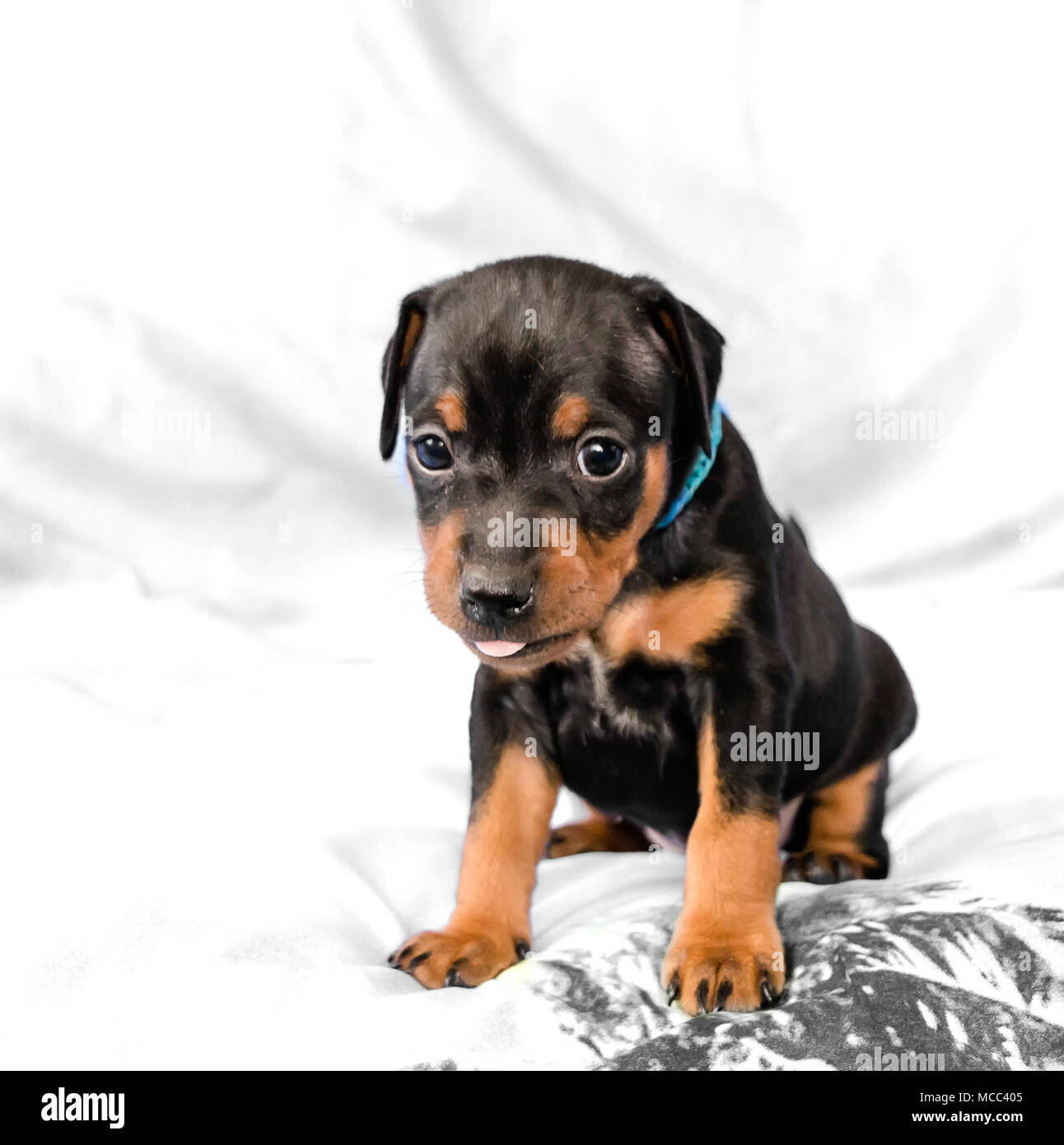 Small black and tan Miniature Pinscher puppy sitting at white background with his tongue out - Stock Image
