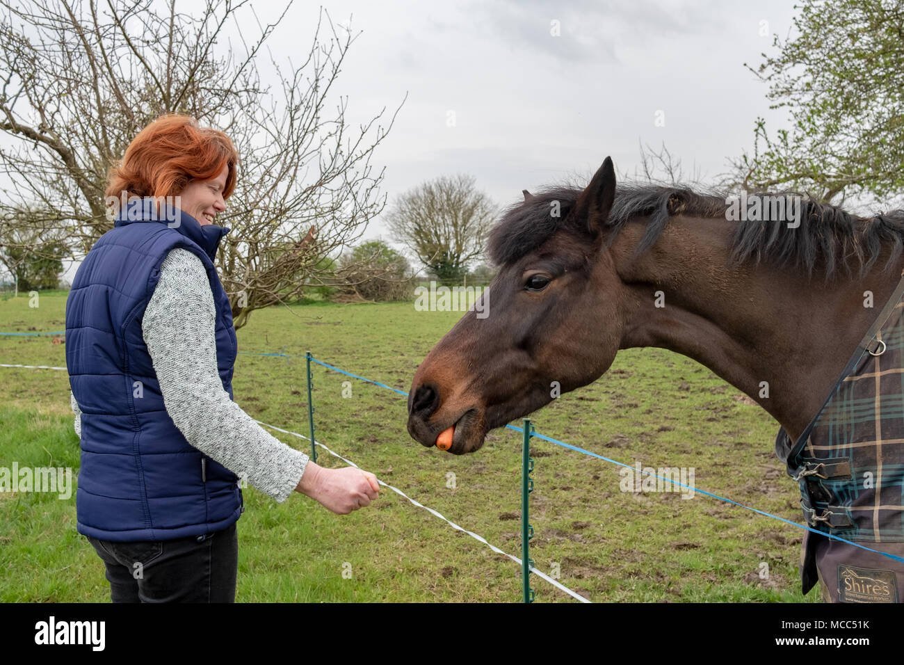 Owner of a horse seen feeding him a carrot as seen in his springtime grazing field. Notice the electric fence in the foreground. - Stock Image